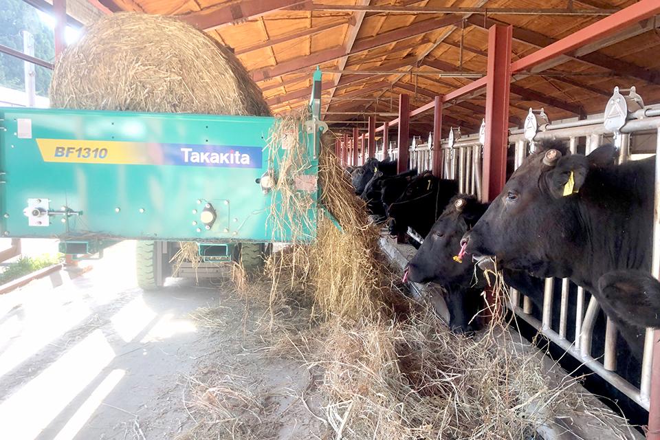 和牛に濃厚飼料の多給を避けた良質粗飼料を与える写真